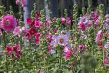 Pink Hollyhocks  Flower In The Garden.(Alcea Rosea )Beautiful Blooming Pink Flowers In Green Background.