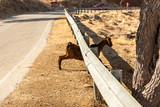 Fototapeta Zwierzęta - Koza