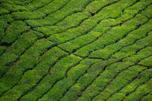 Green Tea Plantation Vietnam A...
