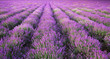 canvas print picture - Meadow of lavender texture.