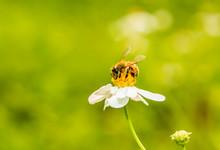 Bee Eating Pollen Of Flower On...