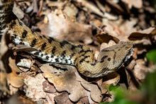 Asp Viper, Vipera Aspis In Nature. Detail Of The Triangular Head Of A Viper