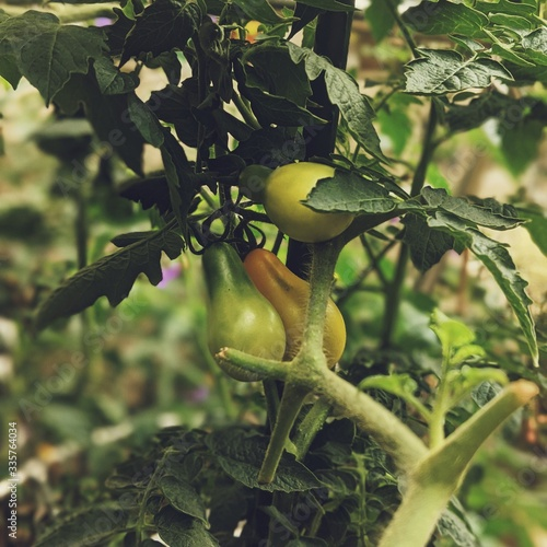 Closeup shot of growing abate fetels with leaves and greenery on the background Canvas Print