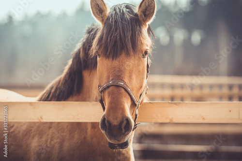 Photographie portrait of young buckskin draft horse in halter on paddock in daytime