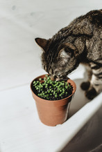 Basil Seedlings  Sprouting In A Pot As A Cute Little Stripy Cat Sniffs Around