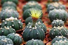 Closeup Blooming Yellow Cactus...