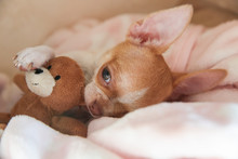 A Mini Chihuahua Puppy Is Slee...