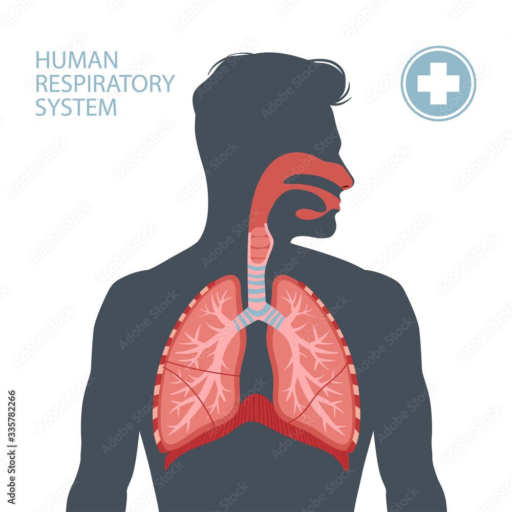 Fototapeta Human respiratory system