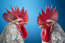 Close-up Portrait Of Rooster O...