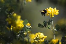 Pollinisation Par Un Bourdon