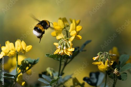 Pollinisation par un bourdon Fototapete