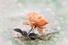 One Orange Rose Flower At The ...