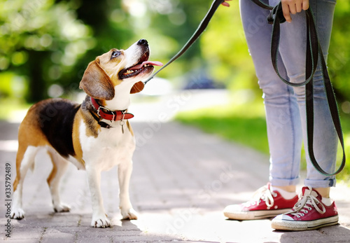 Photo Obedient Beagle dog with his owner. Walking of pets.