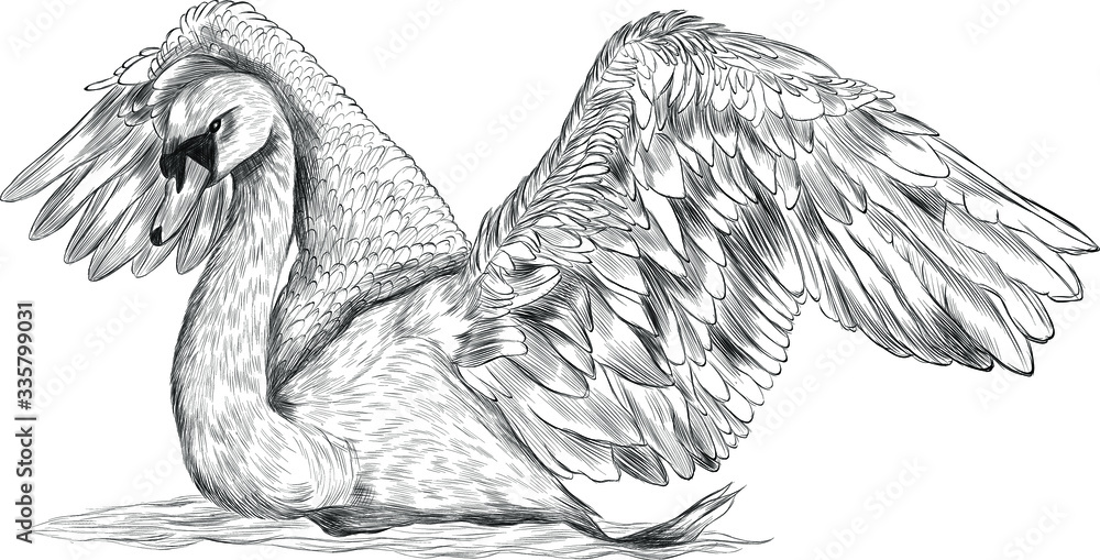 Fototapeta Swan bird with spread wings black and white vector illustration sketch coloring stroke