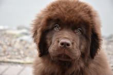 Fluffy Chocolate Brown Newfoun...