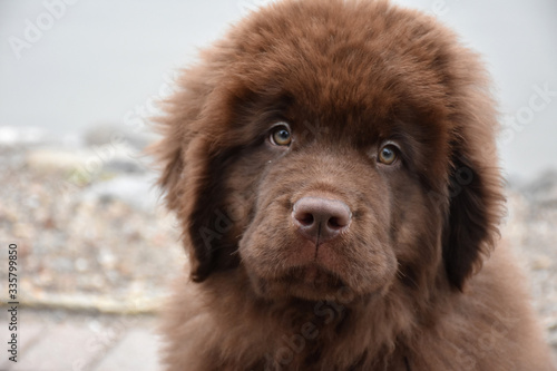 Obraz na plátně Fluffy Chocolate Brown Newfoundland Puppy Dog Up Close