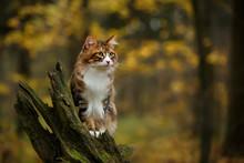 Kurilian Bobtail Cat Walk Outdoor In Forest