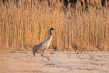 Common Crane In Wild Nature