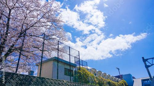 桜の咲く校庭と青い空。青春の風景。 Canvas Print