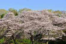 The Cherry Blossoms Are In Ful...