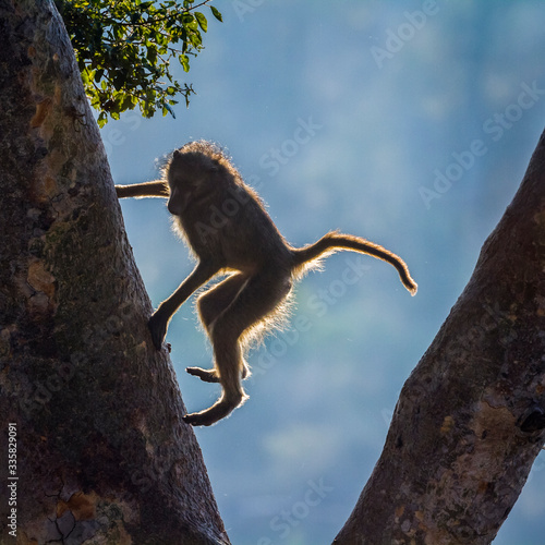 Chacma baboon jumping down a tree in Kruger National park, South Africa ; Specie Wallpaper Mural