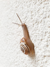 Snail Climbing On The White Wall