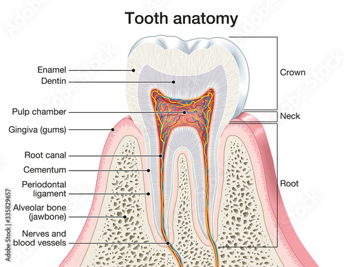 Tela Tooth anatomy, medically accurate illustration