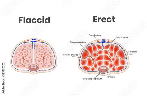 Foto Flaccid and erect penis anatomy