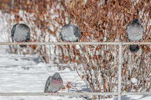 Group Of Gray Pigeons With Bri...