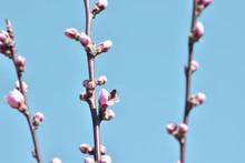 Buds Of A Magnolia On Blue Sky