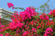 canvas print picture - The bougainvillea flowers