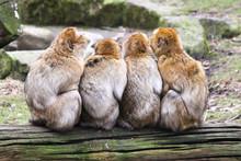 Barbary Macaques (Berberaffe) Macaca Sylvanus Family