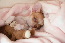 A Mini Chihuahua Puppy Is Play...