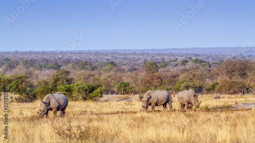 Southern white rhinoceros in Kruger National park, South Africa Canvas-taulu