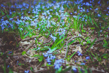 Blue Forest Flowers. Glade Of ...