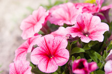 Pink Petunia Petunia Flower (P...