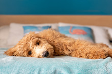Goldendoodle Puppy Lying Down