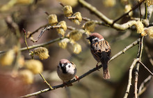 Two Sparrows On One Branch Of ...