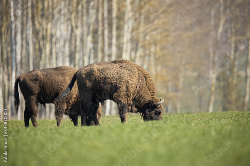 Obraz na plátně European bison - Bison bonasus in the Knyszyn Forest (Poland)