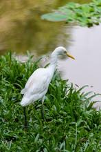 Yellow Billed Egret, Vietnam