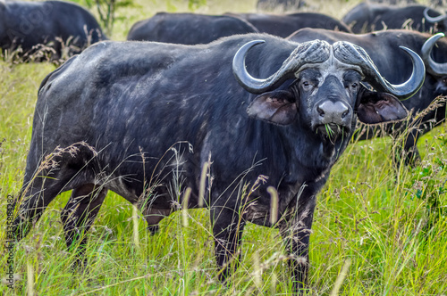 Fototapety, obrazy: Large African cape buffalo or Syncerus caffer caffer in a game reserve in South Africa