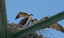 Osprey Fishing Eagle Chicks At...