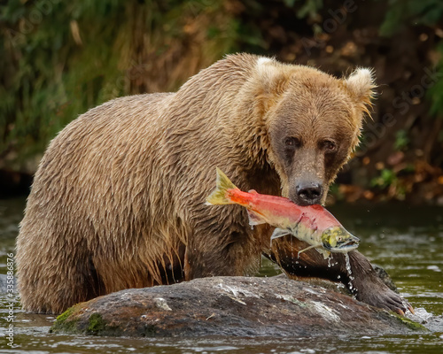 Alaskan Brown Bear caught Salmon Canvas Print