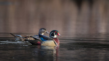 Male And Female Wood Duck Isol...