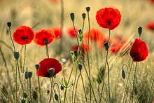 Beautiful Poppy Flowers..  Pap...