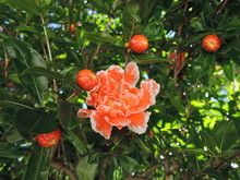 Pink Blooming Mini Pomegranate Flowers In Bush In Green Summer Garden In Public Park