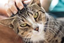 Tabby/Striped Cat, Brown, Blac...
