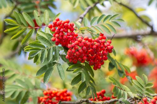 Obraz na plátně mountain ash or rowan (in german Vogelbeere, Eberesche Vogelbeerbaum) Sorbus auc