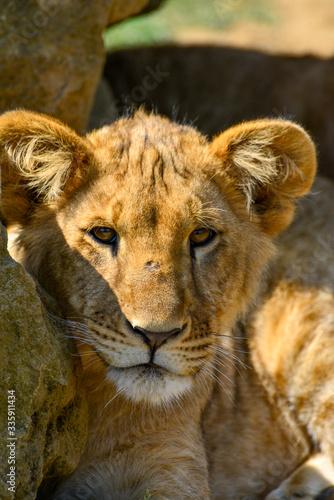 Fototapeta gros plan de jeunes lionceaux sous un rocher et le soleil d'été obraz na płótnie
