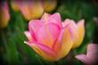 barwny tulipan